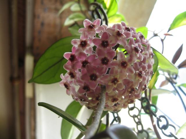 hoya carnosa variegata Img_0474