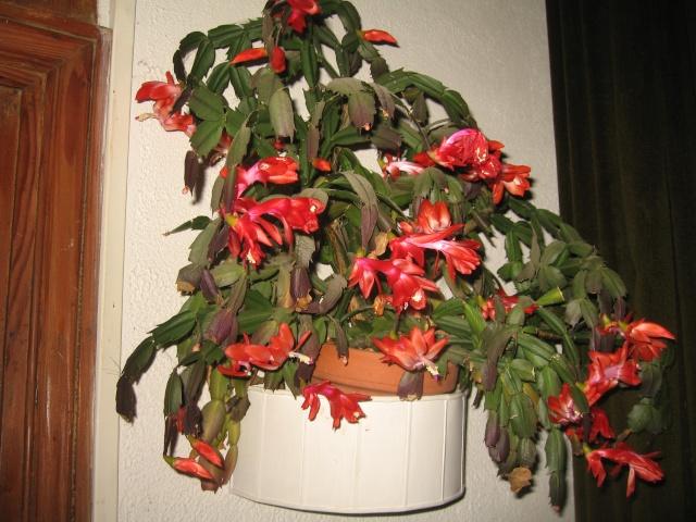 mon  cactus de noel rouge - Page 2 Img_0481