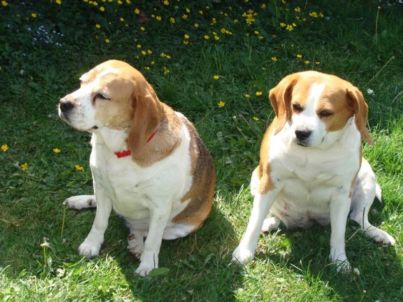 VICKY, beagle femelle, 5 ans (59) 41807012