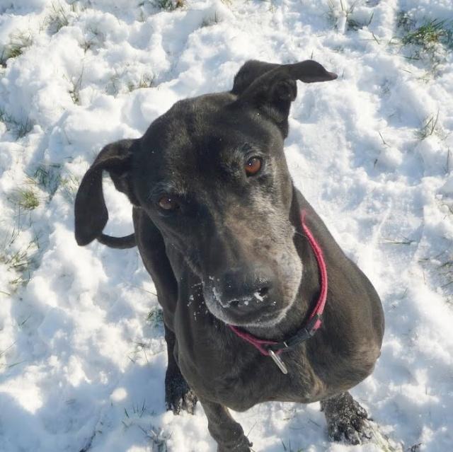 ROCCO, dogue allemand mâle, 7 ans (11) 2910