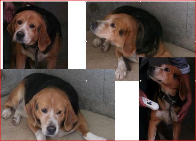 Beagle, mâle, sans nom, euthanasie prévue le 24 juillet 48200110