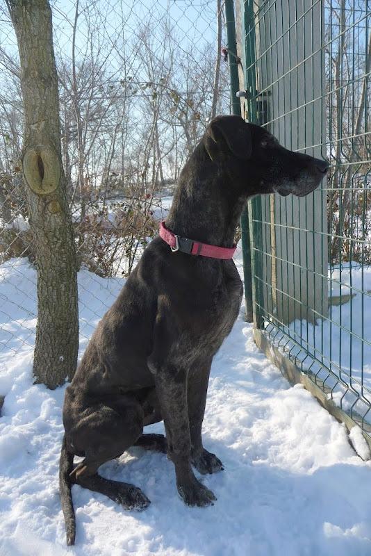 ROCCO, dogue allemand mâle, 7 ans (11) 510