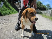 TITUS, beagle mâle de 1 an, SPA de Carcassonne (11) 57478712