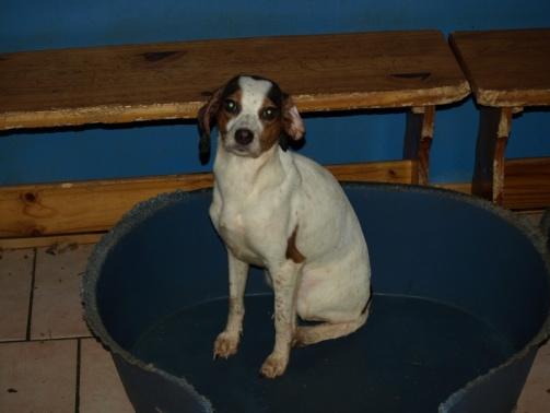 2 femelles croisées beagle, 4/5 ans (11) 610