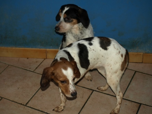 2 femelles croisées beagle, 4/5 ans (11) 710