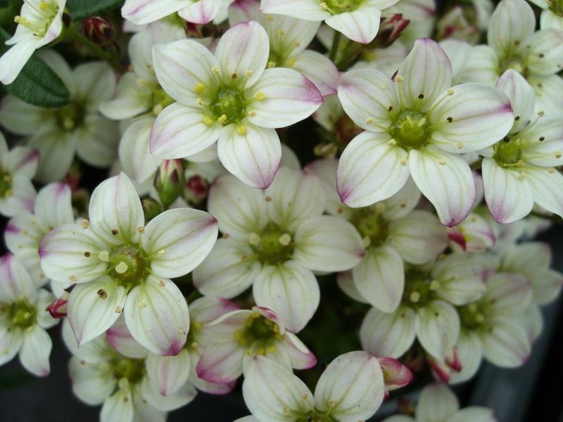 Petite plante à identifier, svp. ( Identifiée : Saxifraga ) Id10