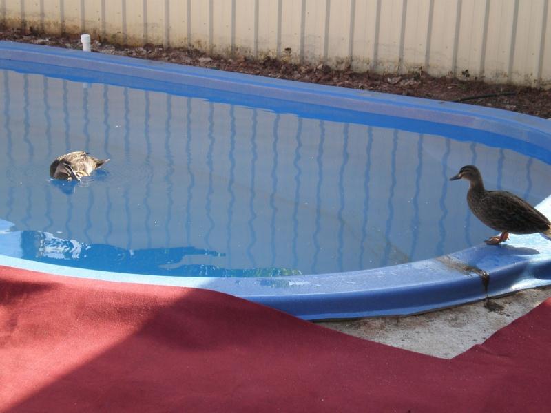 Hello :) Ducks_11