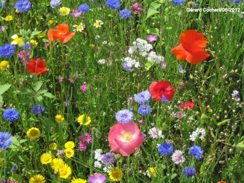 vue d'un carré de ma prairie fleurie en Gironde nord... 12_06p10
