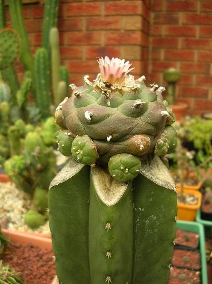 GLue method for small seedlings Loph1910