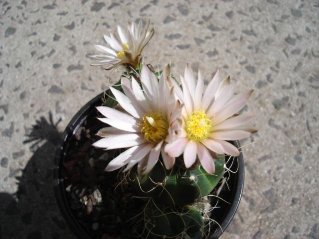 spring cacti flowers - Page 2 Echino10