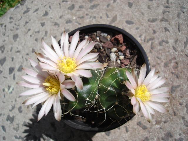 spring cacti flowers - Page 2 Echino11