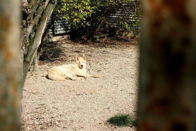 WOLF - mâle croisé husky - ORMES (51) Img_3011