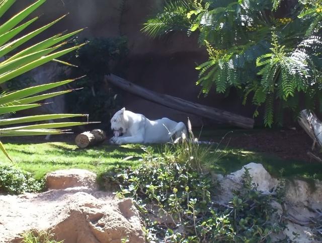 Différence entre tigres blancs et tigres albinos Les_ca19