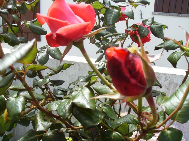 algumas flores do meu jardim Varias17