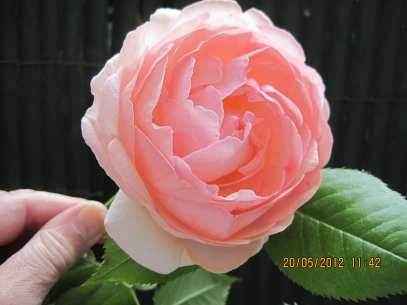 Roses de Ronsard Mon_pi10