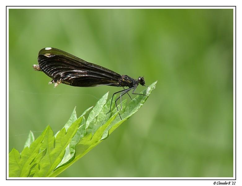 Calopteryx aqueabilis femelle Calopt10