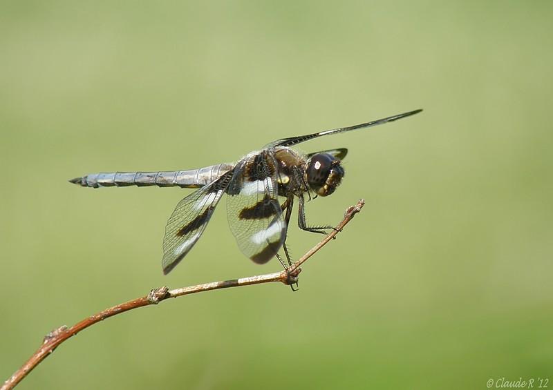 Libellule gracieuse mâle Libell11