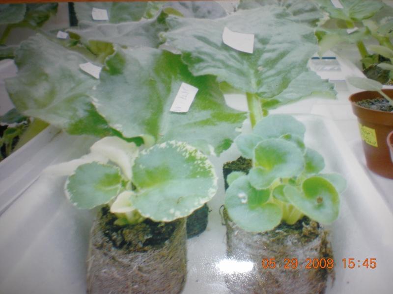 Выращивание листовых черенков в торфяных таблетках. 10761013