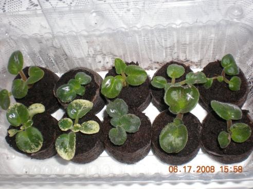 Выращивание листовых черенков в торфяных таблетках. 10761015