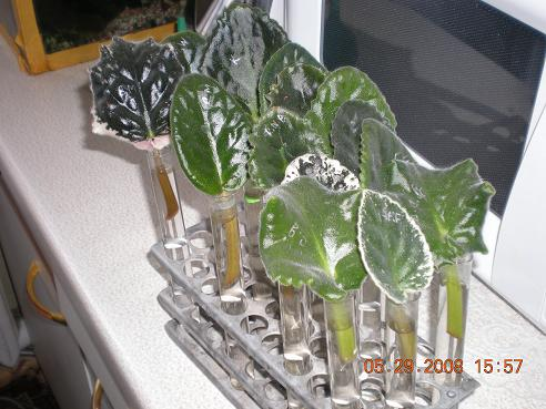 Выращивание листовых черенков в торфяных таблетках. 10831021