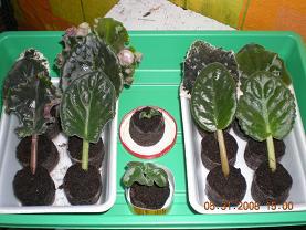 Выращивание листовых черенков в торфяных таблетках. 10831023