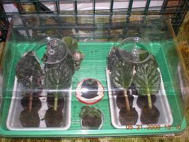 Выращивание листовых черенков в торфяных таблетках. 10901027