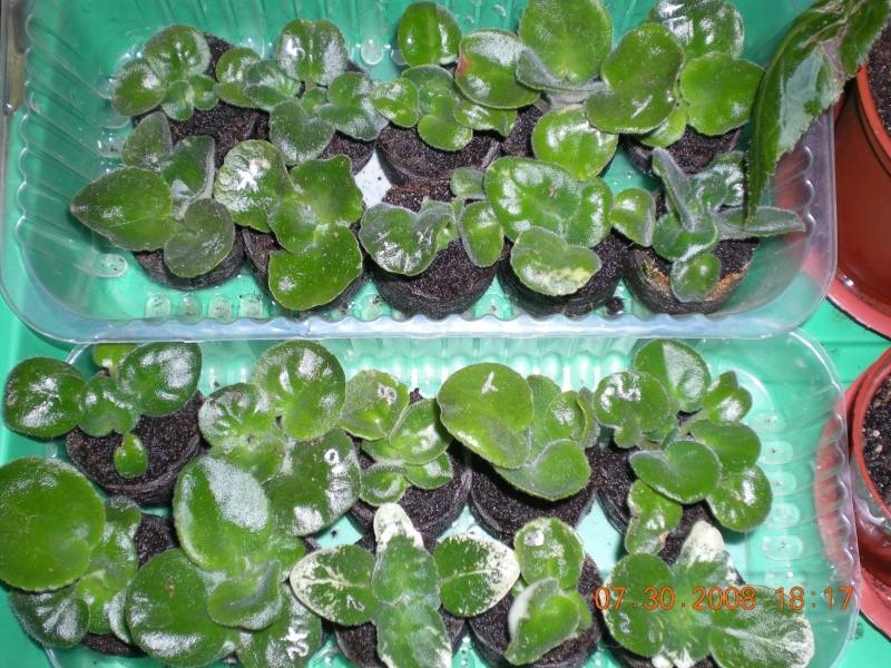 Выращивание листовых черенков в торфяных таблетках. - Страница 3 Dscn0914