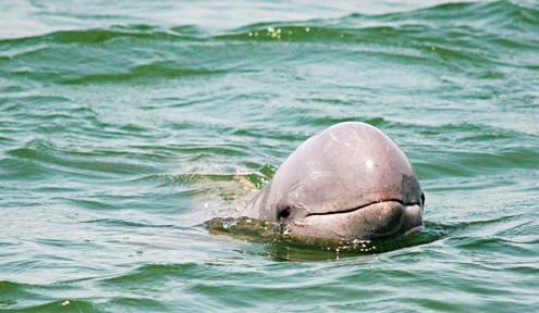 Il reste seulement 85 dauphins d'Irrawaddy ! Dauphi10