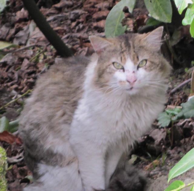 Gato de pelo largo encontrado en Iñás (Oleiros) Image211