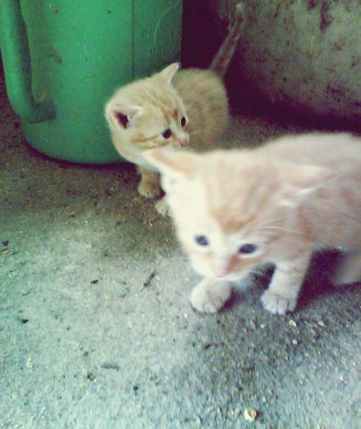 Dos gatitas atigradas de color naranja Image311