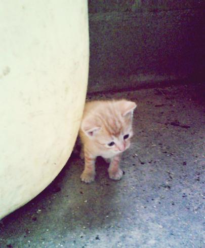 Dos gatitas atigradas de color naranja Image313