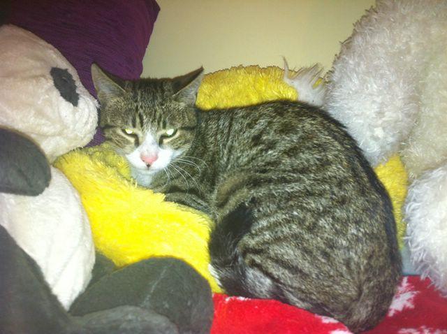 Gato encontrado en la Avenida de las Conchiñas Image350