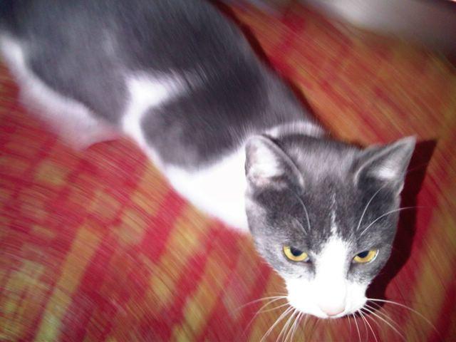 Gato casero encontrado Image399