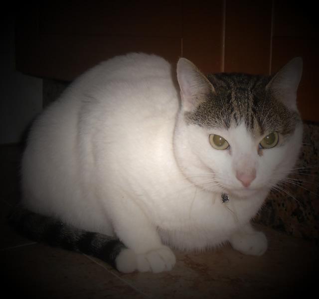 Elvis, precioso gato en adopción Image406