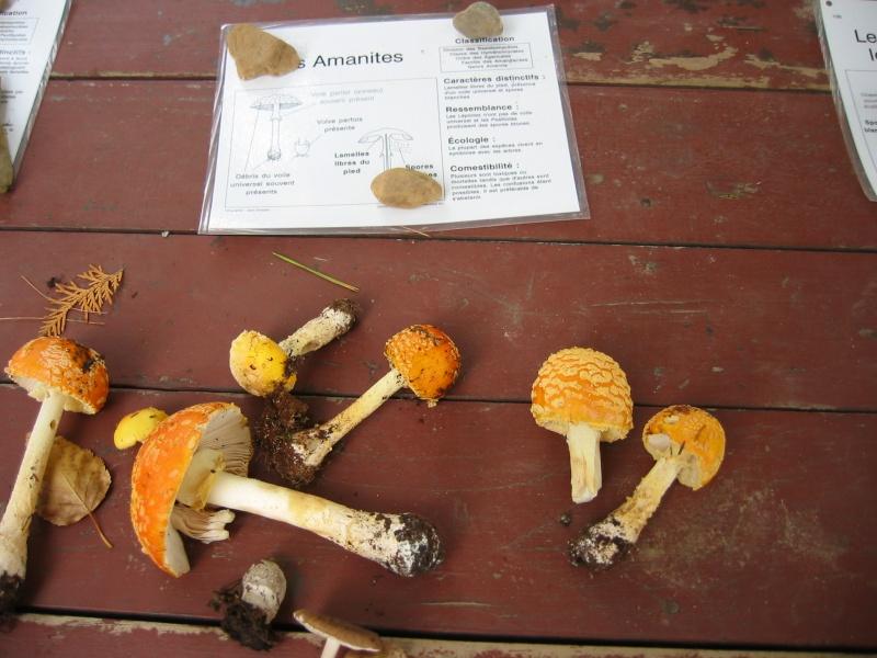 Amanites tue-mouches var. américaine (Amanita muscaria var. formosa)