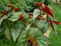 Echange bambusiformes contre gde feuilles arrondies :-) Pict1716