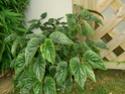 Echange bambusiformes contre gde feuilles arrondies :-) Pict1718
