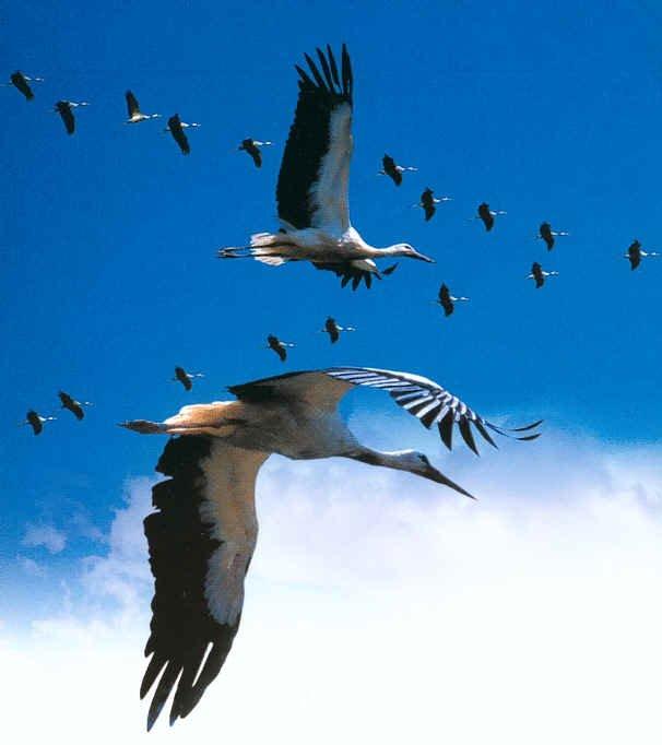 Reloger la cigogne blanche à Ain M'lila Cigogn13