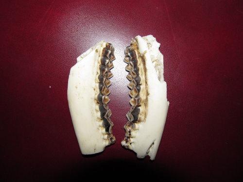 Dentition des cervidés. Img_0012