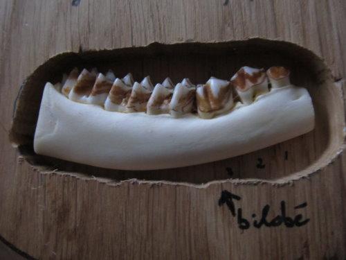 Dentition des cervidés. Img_0015