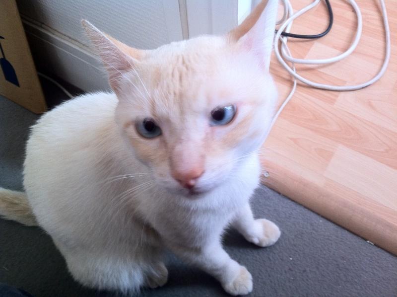 BERLIOZ - jeune chat typé siamois  Photo10