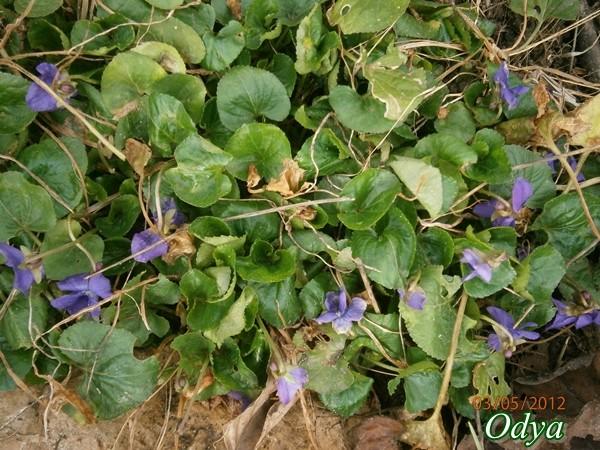 Les violettes - Page 6 025_0317