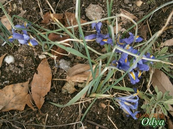 Iris reticulata - Page 2 025_0319