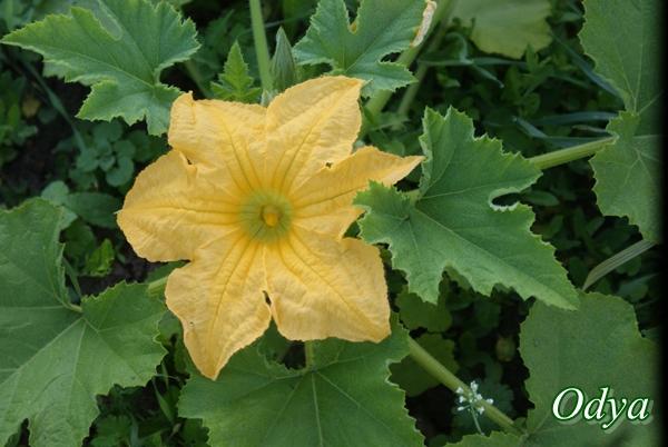 Fleur de courge ,citrouille etc... 20110932