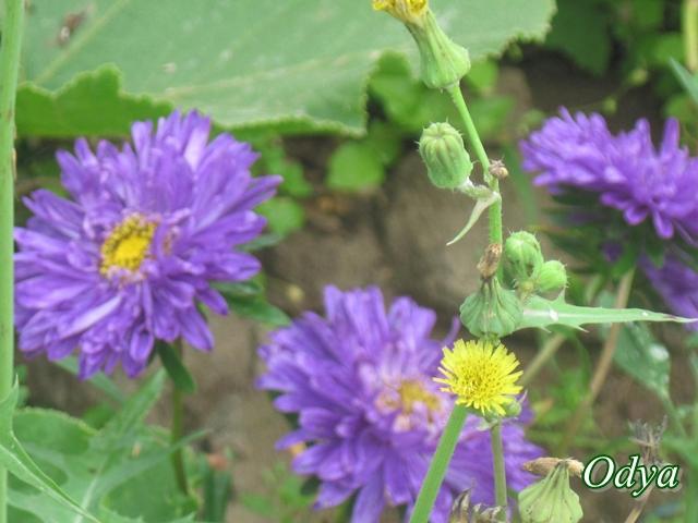 Reines marguerites 2011_082