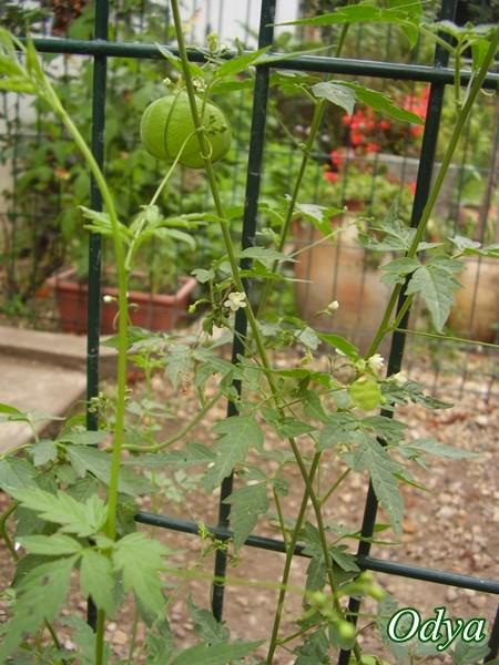 Cardiospermum halicacabum (Pois de Coeur) 2011_109