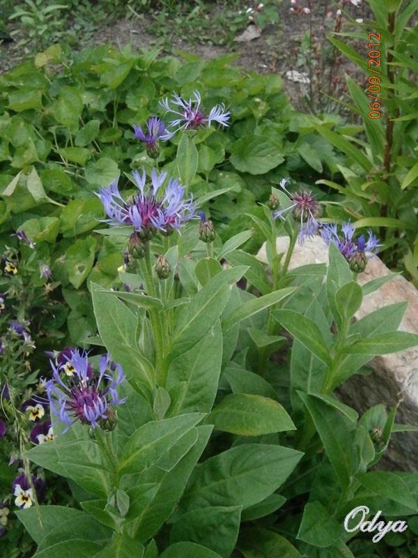 Centauréa montana (bleuet vivace) 2012_034
