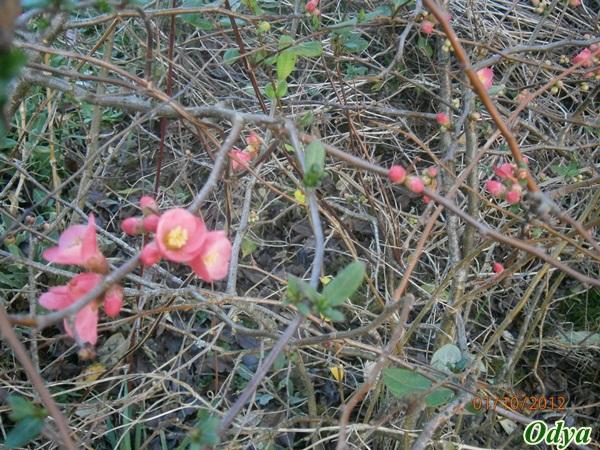 ça commence a fleurir...(Mimosa, Acacia dealbata) 2012_j32