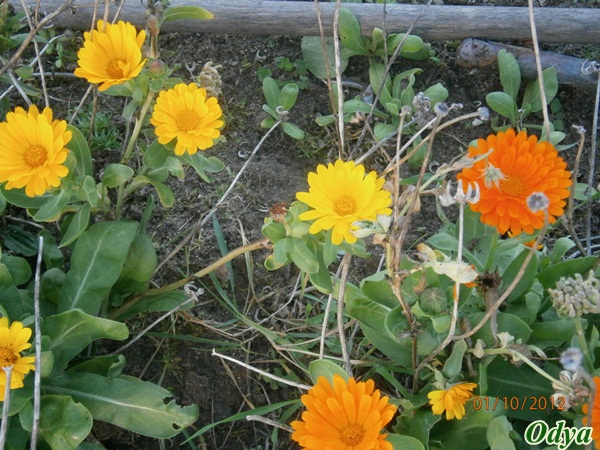 ça commence a fleurir...(Mimosa, Acacia dealbata) 2012_j34