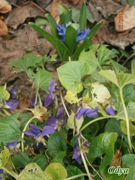 Les violettes - Page 4 22_01_29